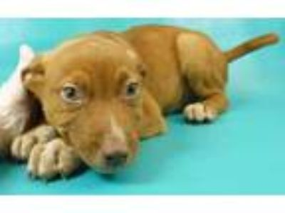Adopt Mack a Red/Golden/Orange/Chestnut German Shepherd Dog / Mixed dog in