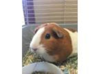 Adopt Porky Pig a White Guinea Pig / Guinea Pig / Mixed small animal in