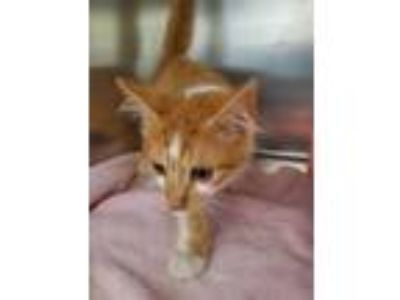 Adopt PEPSI a Orange or Red Tabby Domestic Shorthair / Mixed (short coat) cat in