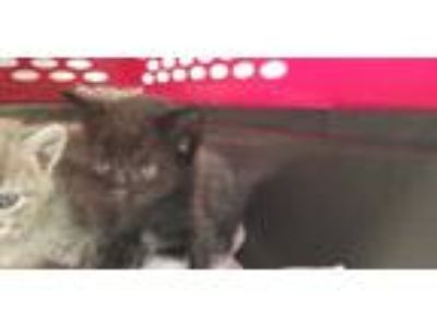 Adopt DOT a All Black Domestic Shorthair / Mixed (short coat) cat in Fort