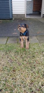Airedale Terrier PUPPY FOR SALE ADN-114058 - Airedale Terrier puppies ready to go