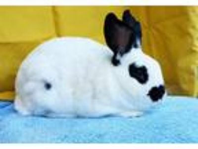 Adopt Kevin a Other/Unknown / Mixed (short coat) rabbit in Scotts Valley