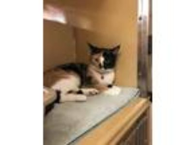 Adopt Elsa a Domestic Short Hair, Calico