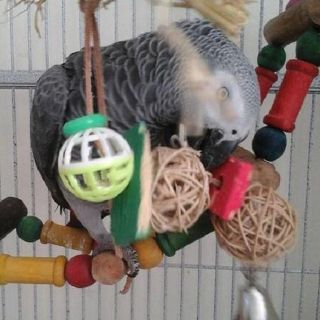 African grey parrots ready