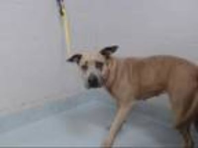 Adopt FAUNA a Brown/Chocolate American Pit Bull Terrier / Mixed dog in Pasadena