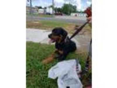 Adopt Sugar a Black - with Brown, Red, Golden, Orange or Chestnut Rottweiler /