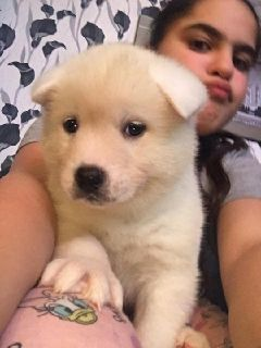Stunning Akita puppies for great homes