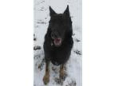 Adopt Marvin a German Shepherd Dog