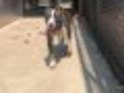 Kasey Pit Bull Terrier Dog