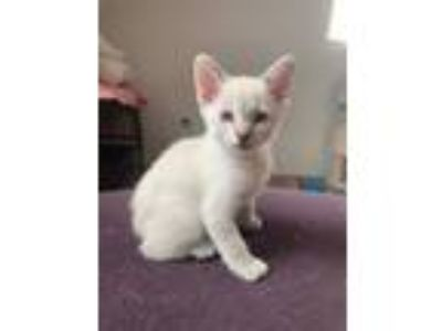 Adopt Kenny Rogers a Siamese