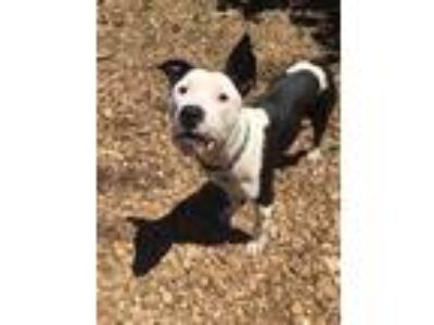 Adopt MINNIE a Black - with White American Pit Bull Terrier / Mixed dog in