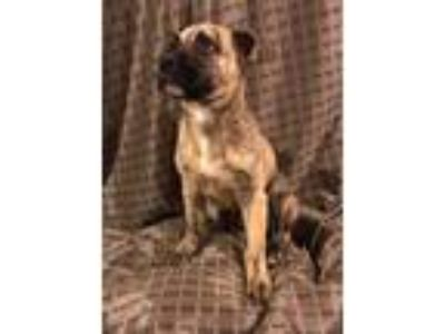 Adopt Mumford a Brindle Great Pyrenees / Mixed dog in Plainfield, IL (25370898)