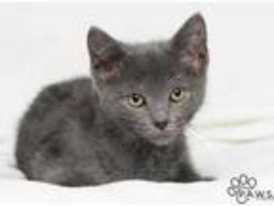 Adopt Foster a Gray or Blue Domestic Shorthair / Domestic Shorthair / Mixed cat