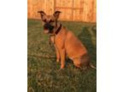 Adopt Rylee a Brown/Chocolate - with Black Shepherd (Unknown Type) / Mixed dog