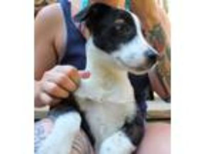 Adopt Kamara a Australian Cattle Dog / Blue Heeler