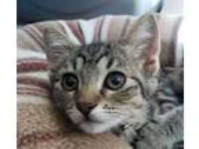 Adopt BROWNIE a Brown Tabby Domestic Shorthair / Mixed (short coat) cat in