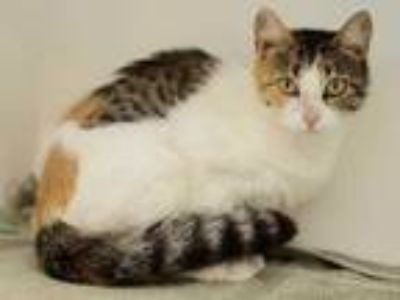 Adopt Ivy a White Domestic Shorthair / Domestic Shorthair / Mixed cat in