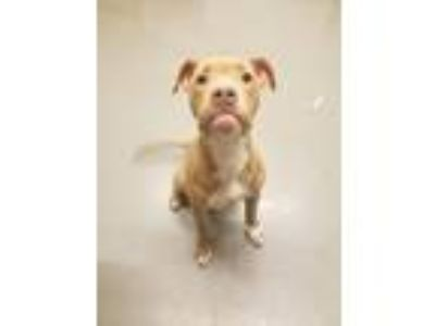 Adopt Juice a Pit Bull Terrier