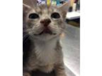 Adopt Rob a Gray or Blue Domestic Shorthair / Domestic Shorthair / Mixed cat in
