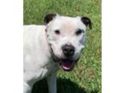 Adopt 1907-1540 Kairo a White - with Black Pit Bull Terrier / Mixed dog in