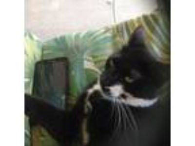 Adopt Shiloh a Black & White or Tuxedo Domestic Shorthair / Mixed cat in Palm