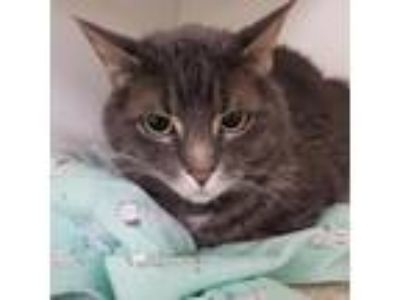 Adopt KiKi a Domestic Short Hair