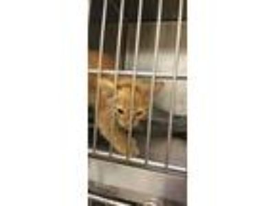 Adopt Daxter a Orange or Red Domestic Shorthair / Domestic Shorthair / Mixed cat