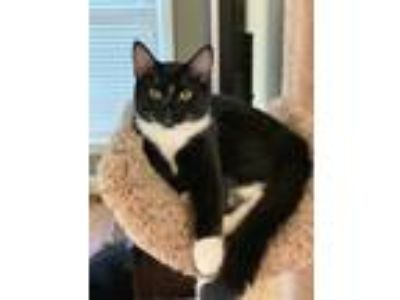 Adopt Ludo a Black & White or Tuxedo Domestic Shorthair (short coat) cat in