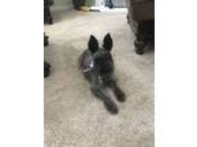 Adopt Dexter a Black Schnauzer (Miniature) / Mixed dog in Dallas, TX (24618723)