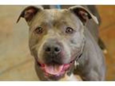 Adopt Sissy a Gray/Blue/Silver/Salt & Pepper Pit Bull Terrier / Mixed dog in