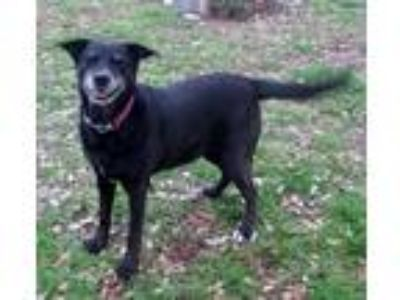 Adopt Shadow a Black - with White Labrador Retriever / Mixed dog in Georgetown