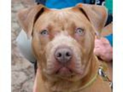 Adopt Cj a American Pit Bull Terrier / Mixed dog in Oakland, CA (25345268)