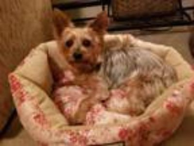 Adopt Gracie a Yorkshire Terrier