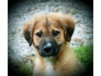 Adopt Tyrus B a Great Pyrenees, Mixed Breed