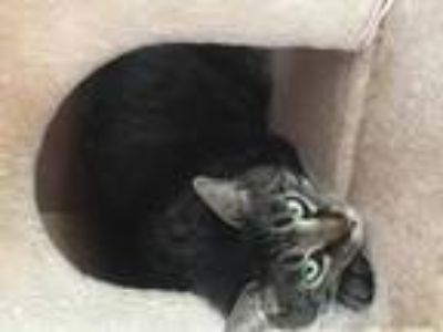 Adopt Purrcy a Gray, Blue or Silver Tabby Domestic Shorthair / Mixed (short