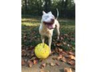 Adopt Nina a Brindle American Pit Bull Terrier / American Pit Bull Terrier /
