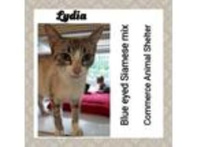 Adopt Lydia a Siamese / Mixed (short coat) cat in Commerce, TX (25338678)