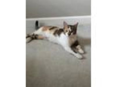 Adopt Pixie a Calico or Dilute Calico Domestic Shorthair / Mixed (short coat)