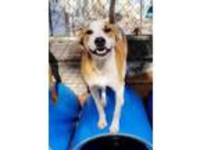 Adopt Jack a Harrier, Mixed Breed