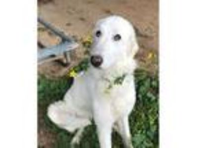 Adopt Yula Mae a White Great Pyrenees / Mixed dog in Statewide, TX (24821749)