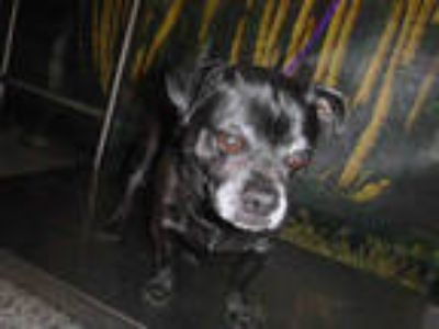 Adopt ODIS a Black Pug / Mixed dog in Henderson, NV (25557647)