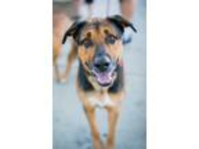 Adopt Max a Black - with Tan, Yellow or Fawn Shepherd (Unknown Type) / Mixed dog