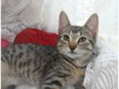 Adopt Molly a Brown Tabby Domestic Shorthair (short coat) cat in Bristol