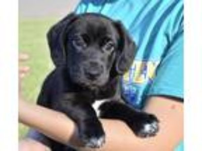 Adopt Helena a Black - with White Labrador Retriever / Mixed dog in Charlotte