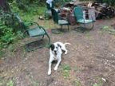 Adopt Jake a White - with Black Dalmatian / Labrador Retriever / Mixed dog in