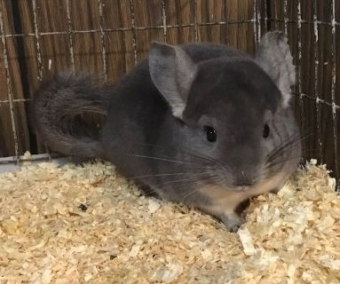 4 Month Old Violet Male Chinchilla Kit (Baby) -- super sweet!