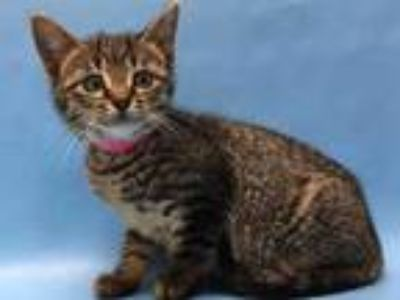Adopt Dot a Brown or Chocolate Domestic Shorthair / Mixed cat in Coon Rapids