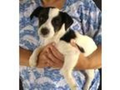 Adopt Daisy a Black - with White Jack Russell Terrier / Mixed dog in Temecula