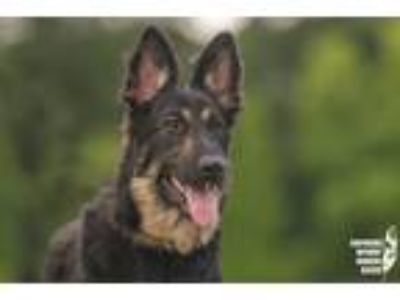 Adopt Theia a German Shepherd Dog