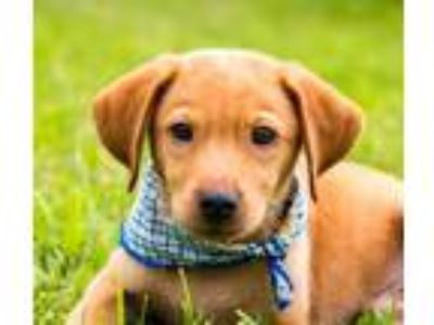 Adopt Max a Labrador Retriever / Terrier (Unknown Type, Medium) / Mixed dog in